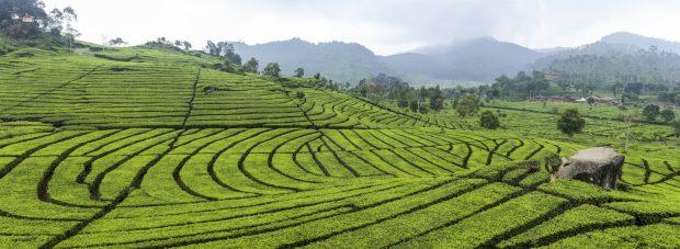 Tea_plantation_in_Ciwidey,_Bandung_2014-08-21