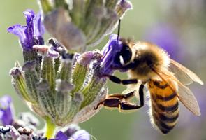 abeille-butine
